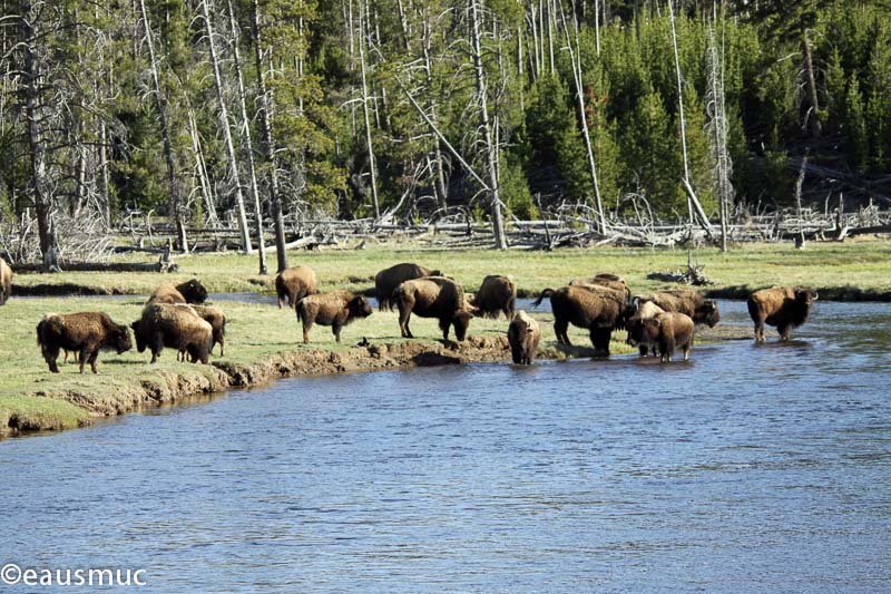 Bisons am Firehole River